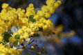 Golden wattle and bee busy pollinating Stock Photography
