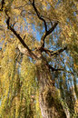 Golden Weeping Willow Royalty Free Stock Photos