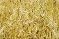 Golden wheat Royalty Free Stock Photo