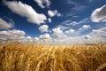 Golden Wheat Royalty Free Stock Photos