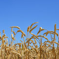 Golden wheat in the blue sky background Stock Image