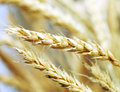 Golden wheat close-up Royalty Free Stock Images