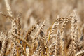 Golden wheat close up Royalty Free Stock Photography