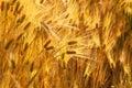Golden wheat ears in sunset
