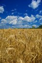 Golden wheat in farm field Royalty Free Stock Photo