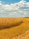 Golden wheat field on the background of sky with clouds blue white Stock Photos