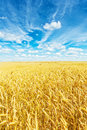 Golden wheat field and beautiful sky Royalty Free Stock Photo