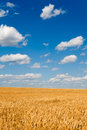Golden wheat field below sky Stock Image