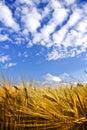 Golden wheat field on a blue sky
