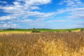 Golden wheat field with blue sky Royalty Free Stock Photo