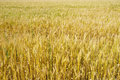 Golden wheat field closeup on summer day Royalty Free Stock Photography