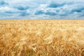 Golden wheat field with dramatic storm clouds dark Royalty Free Stock Photo