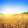 Golden wheat field a fresh crop of Stock Photo