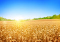 Stock Image Golden Wheat Field