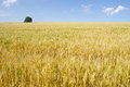 Golden wheat field with one big tree on summer day Stock Images