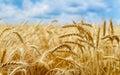 Golden wheat field on summer day photo taken on july rd Stock Image