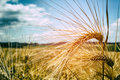Golden wheat field at sunny day Royalty Free Stock Photo