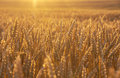 Golden wheat field at sunset. Royalty Free Stock Photo