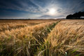Golden wheat field before sunset Royalty Free Stock Photo