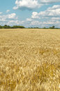 Golden wheat field under a blue sky Stock Photography