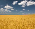 Golden wheat field under clouds landscape with blue sky and Stock Photography