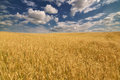 Golden wheat field under dark blue sky landscape with and clouds Royalty Free Stock Images