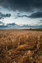 Golden wheat field under dramatic stormy sky Royalty Free Stock Photo