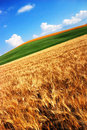 Golden wheat fields Royalty Free Stock Photo