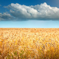 Golden wheat fields towards the big cloud Royalty Free Stock Photo