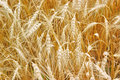 Golden wheat growing in farm field Royalty Free Stock Photo