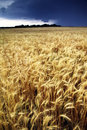 Golden wheat harvest threatened by summer thunderstorm this colored field nearly ready for is being an approaching on a midwestern Stock Images
