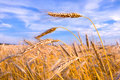 Golden wheat ready for harvest growing in a farm Royalty Free Stock Photo