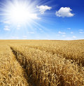 Golden wheat with sunny sky Stock Photo