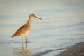 Golden willet searches for food at sunrise florida Stock Photos
