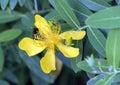 Golden Yellow Bloom, Hypericum...
