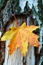 Golden-yellow maple leaf on bark of birch tree . Stock Photos