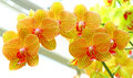 Golden yellow phalaenopsis orchids Royalty Free Stock Photo
