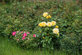 Golden yellow and pink flowers of garden roses Royalty Free Stock Photo