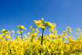 Golden yellow rape field Royalty Free Stock Photo
