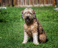 Goldendoodle portrait picture of a outdoors Stock Images