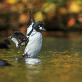 Goldeneye flapping its wings on an autumn morning Stock Images
