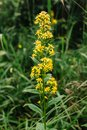 Goldengende or Solodago virgaurea. A fly sits on a flower Goldenrod is used to reduce pain and swelling, as a diuretic, to
