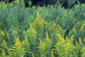 Goldenrod Background Stock Photography