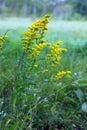 Goldenrod On Bloom