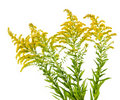 Goldenrod plant Stock Photography