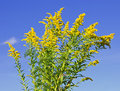 Goldenrod plant Royalty Free Stock Image