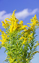 Goldenrod plant Stock Photo