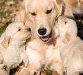 Golder retriever puppies with mother Royalty Free Stock Photo