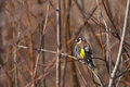 Goldfinch after the bath drying itself bathing in ditch Stock Image
