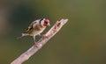 Goldfinch On Branch